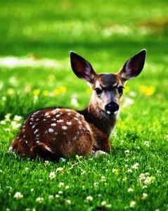 deer (cropped)